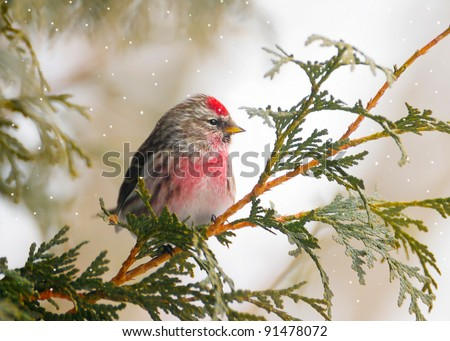 Common Redpoll bird, male, perched on a branch in the winter with snow falling.