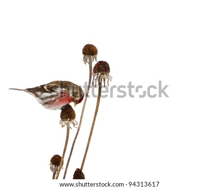 Common redpoll bird, male, perched on a dead daisy stalk eating seed in winter, isolated on white.