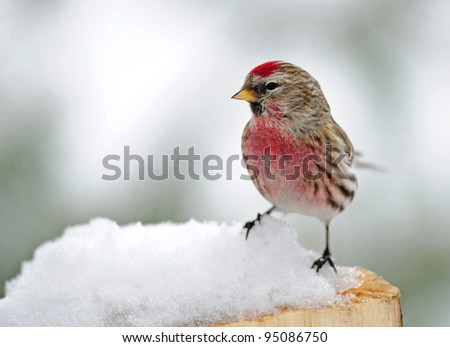 Common redpoll bird, male, perched on snowy tree stump