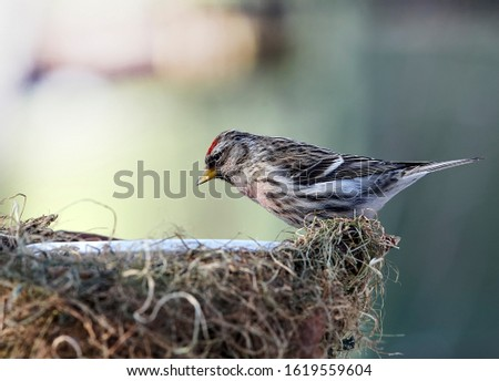 Common redpoll builds a nest