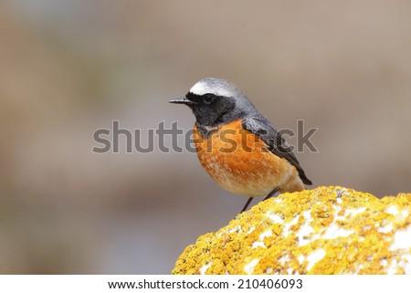Common redstart male (Phoenicurus phoenicurus) in natural habitat