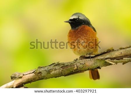 Common Redstart - Phoenicurus phoenicurus male sitting on the branch, green-yellow background.
