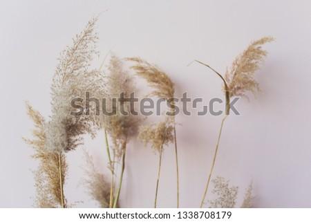Common reed Phragmites australis seed heads. dried
