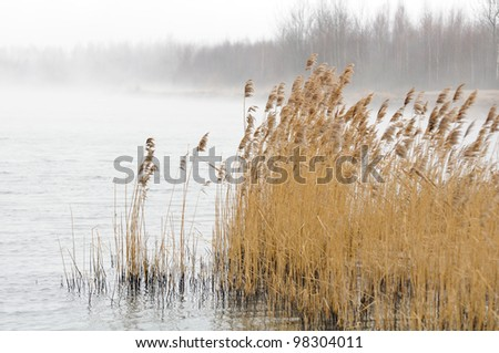 Common Reed (Phragmites) in the River on Foggy Day