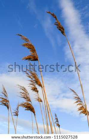 Common reed plant. View from bottom. Common reed plant on sky background #1115027528