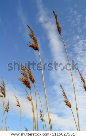 Common reed plant. View from bottom. Common reed plant on sky background #1115027531