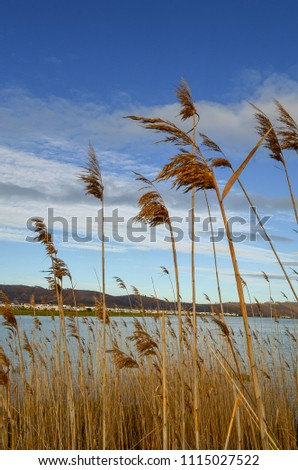 Common reed plant. View from bottom. Common reed plant with river and sky on background #1115027522