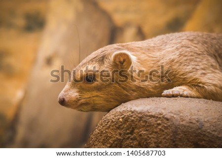 Common Rock Hyrax - Procavia capensis, mammal from African mountains, Namibia. #1405687703
