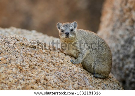 Common Rock Hyrax - Procavia capensis, small mammal from African hillls and mountains, Namibia. #1332181316