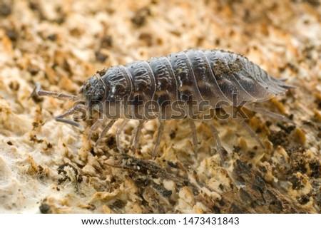 common rough woodlouse a crustacean #1473431843