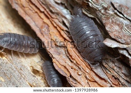 Common rough woodlouse, Porcellio scaber on wood #1397928986