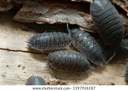 Common rough woodlouses, Porcellio scaber on wood #1397926187