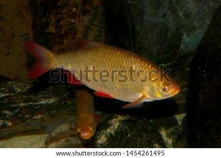 Common rudd (Scardinius erythrophthalmus) freshwater fish #1454261495