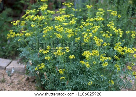 common rue or herb of grace (Ruta graveolens) herbal plant in the garden, selected focus, narrow depth of field Foto stock ©