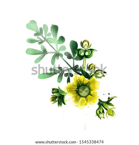Common rue ruta graveolens flowering plant isolated on white. Herb-of-grace, species of Ruta grown as an ornamental plant and as an herb. Ruta flower. Herbs and spices collection. Digital art Foto stock ©