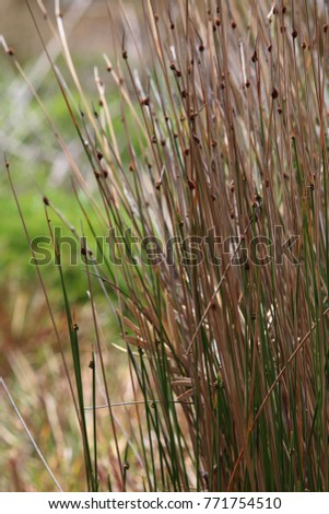 Common Rush or Soft Rush (Juncus effusus) (long grass like) in the breeze