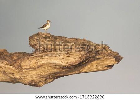 Common sandpiper in Warsaw Poland Zdjęcia stock ©