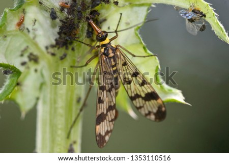 common scorpion fly