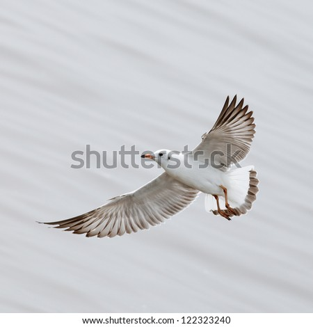 Common seagull Immigrated bird in Thailand