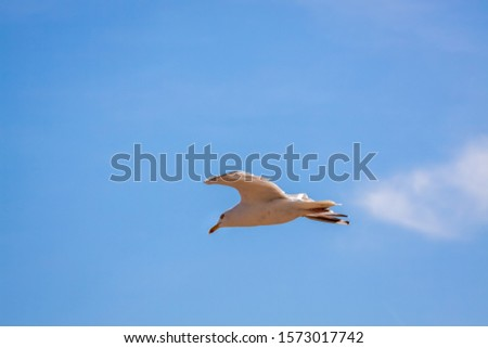 Common Seagull (larus larus) in Flight