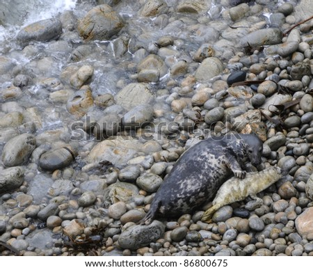 Common seal feeding pup on Pembrokeshire coast