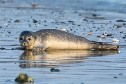 Common seal known also as Harbour seal, Hair seal or Spotted seal  (Phoca vitulina) pup lying on the beach. Helgoland, Germany