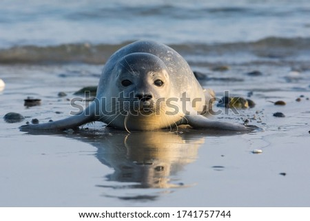 Common seal known also as Harbour seal, Hair seal or Spotted seal  (Phoca vitulina) pup lying on the beach. Helgoland, Germany Stock photo ©