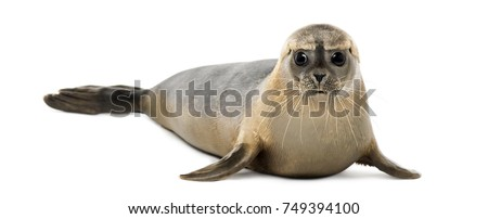Common seal lying, looking at the camera, Phoca vitulina, 8 months old, isolated on white