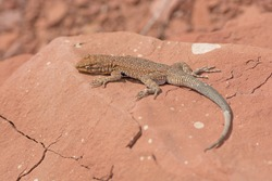 Common Side-Blotched Lizard in the Desert near Lees Ferry in the Glen Canyon National Recreation Area in Arizona