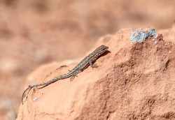 Common side blotched lizard (Uta stansburiana). An animal in Gold Butte National Monument, Clark County, Nevada, USA