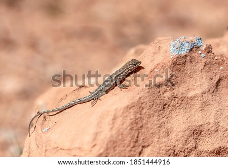 Common side blotched lizard (Uta stansburiana). An animal in Gold Butte National Monument, Clark County, Nevada, USA Stock fotó ©