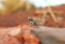 Common Side-blotched Lizard (Uta stansburiana), closeup from ground level