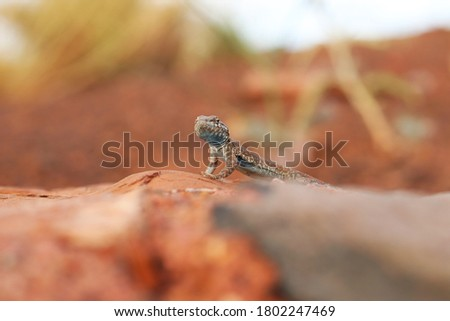 Common Side-blotched Lizard (Uta stansburiana), closeup from ground level Stock fotó ©