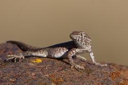 Common Side-blotched Lizard, Uta stansburiana, Columbia River Gorge, Washington / Oregon; Pacific Northwest Desert Wildlife / amphibian / reptile