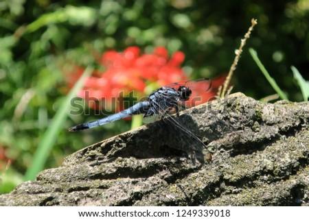 Common skimmer  ( Orthetrum albistylum speciosum)  dragonfly