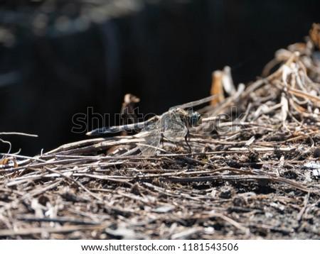 Common skimmers - Orthetrum albistylum speciosum - is on the ground.