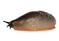 Common Slug isolated on a white background