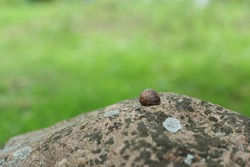 Common snail on a stone with moss on a green background on a summer day