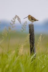 Common snipe (Gallinago gallinago) wader bird guarding for territory in wetland breeding habitat. Wildlife scene in nature. Netherlands.