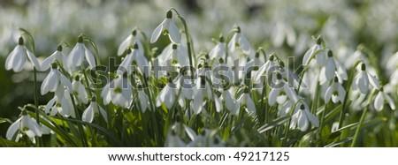 Common Snowdrops