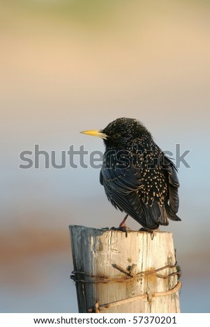 Common speckled starling bird sitting on wooden post