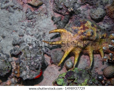 Common Spider Conch (Lambis lambis) #1498937729