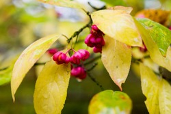 Common spindle tree - ornamental and poisonous fruits