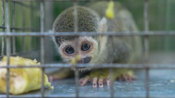 common squirrel monkey in a cage saved from illegal wildlife trafficking