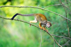 Common squirrel monkey (Saimiri sciureus) walking on a tree branch