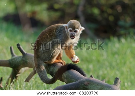Common squirrel monkey with food