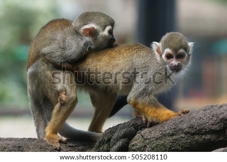 Sex having Two monkeys