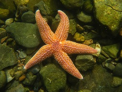 Common Starfish, Asterias rubens. Taken Torbay, England.