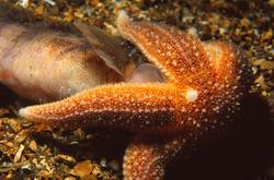 common starfish feeds on dead fish