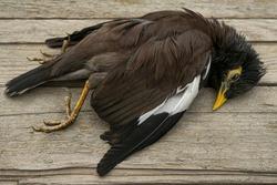 common starling. dead wild bird. corpse of a wild bird. yellow beak and yellow paws. texture of brown and black feathers. wooden boards. Avian influenza Grippus avium. Bird flu